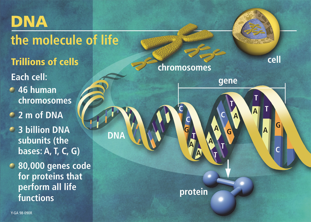 DNA: The Molecule of Life (with text)