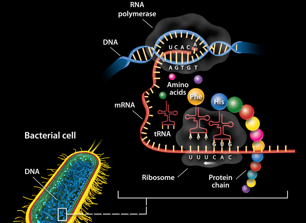 Expressing the Genome in Bacterial Cells