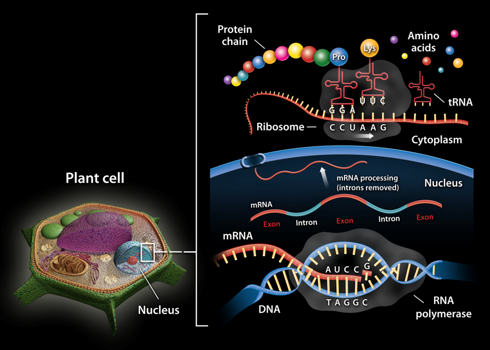 Expressing the Genome in Plant Cells
