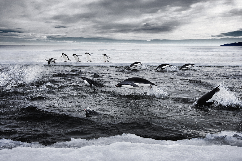 penguins (Photo Credit: John B. Weller, courtesy of The Pew Charitable Trusts)