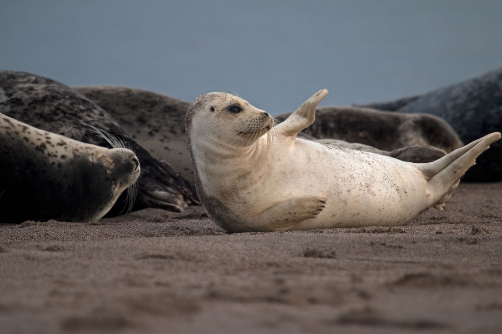 seal (Photo Credit: Peter Pearsall, U.S. Fish and Wildlife Service)