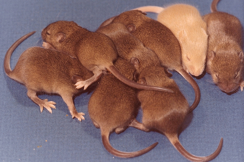 mice (Photo Credit: U.S. Department of Energy)