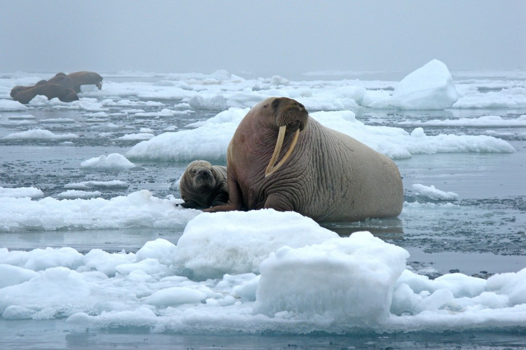 walrus (Photo Credit: Sarah Sonsthagen, U.S. Fish and Wildlife Service)