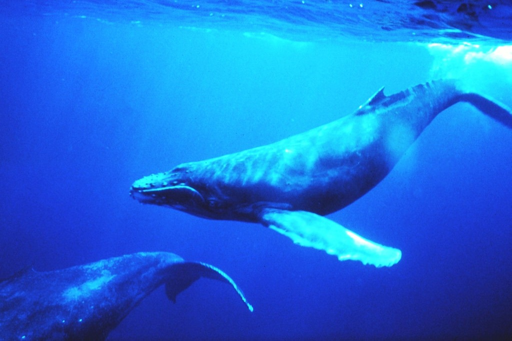 humpback whales (Photo Credit: Dr. Louis M. Herman, National Oceanic and Atmospheric Administration)