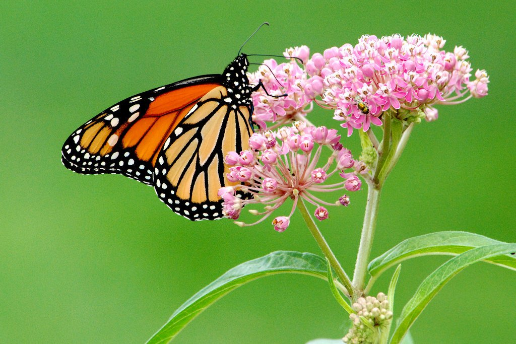 Monarch butterfly (Photo Credit: George Gentry, U.S. Fish and Wildlife Service)