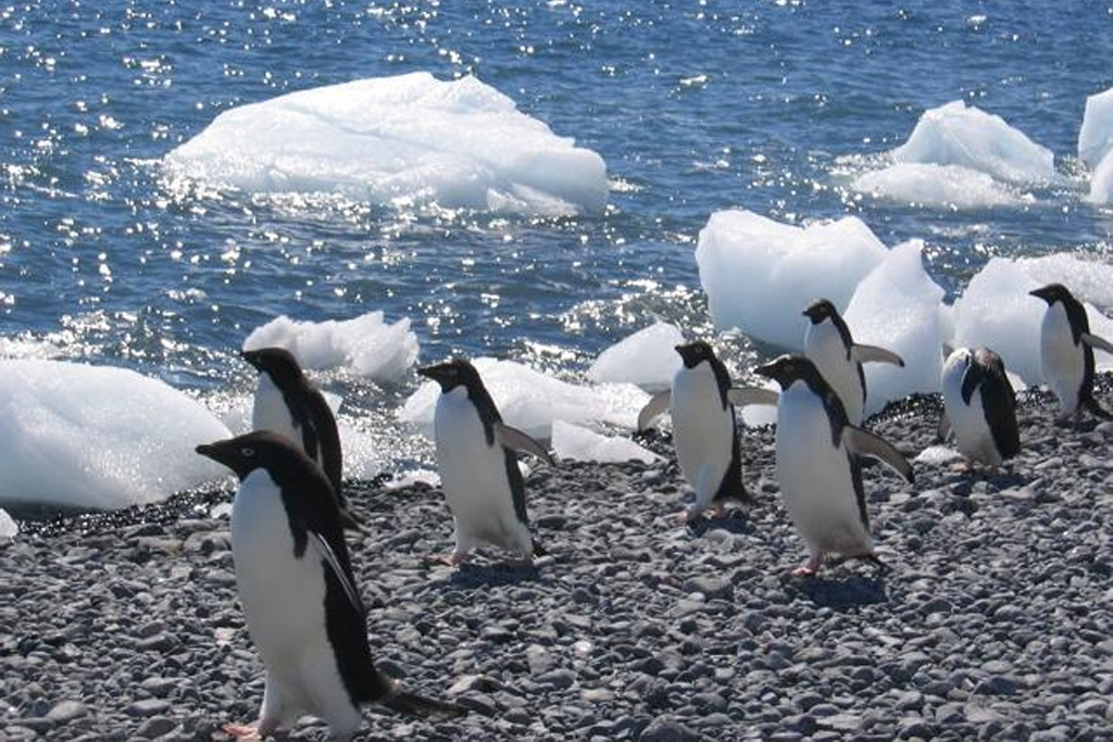 ANTARCTICA: Adelie penguins on the march at Brown Bluff at the end of the Tabarin Peninsula (Photo Credit: Central Intelligence Agency (CIA) - The World Factbook)