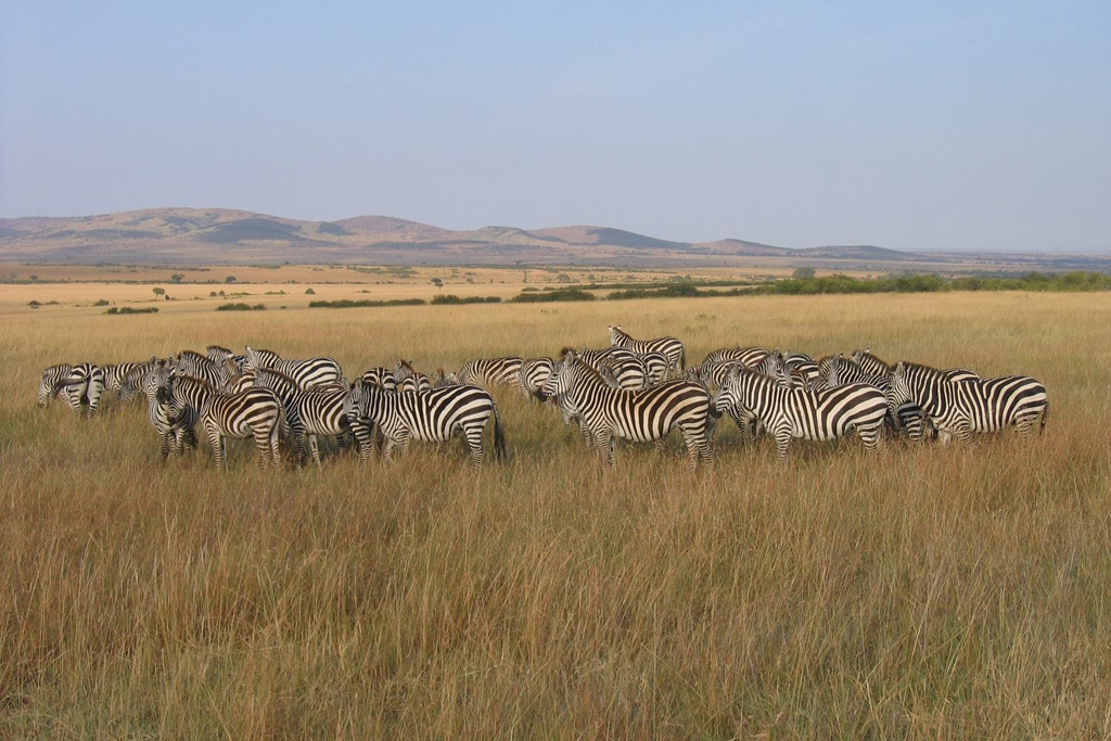 KENYA: Zebra Herd in Masai Mara National Reserve (Photo Credit: Central Intelligence Agency (CIA) - The World Factbook)