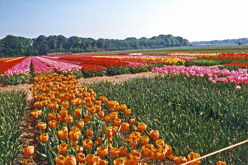 NETHERLANDS: Tulip fields (Photo Credit: Central Intelligence Agency (CIA) - The World Factbook)