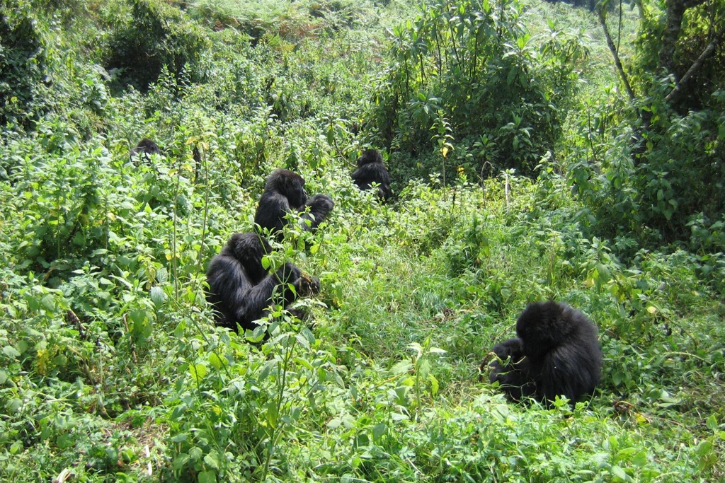 RWANDA: Group of Mountain Gorillas, Volcanoes National Park (Photo Credit: Central Intelligence Agency (CIA) - The World Factbook)
