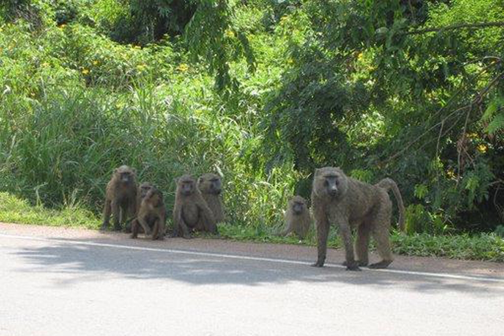 UGANDA: A family of wild baboons sitting along the road from Mbale to Kampala (Photo Credit: Central Intelligence Agency (CIA) - The World Factbook)